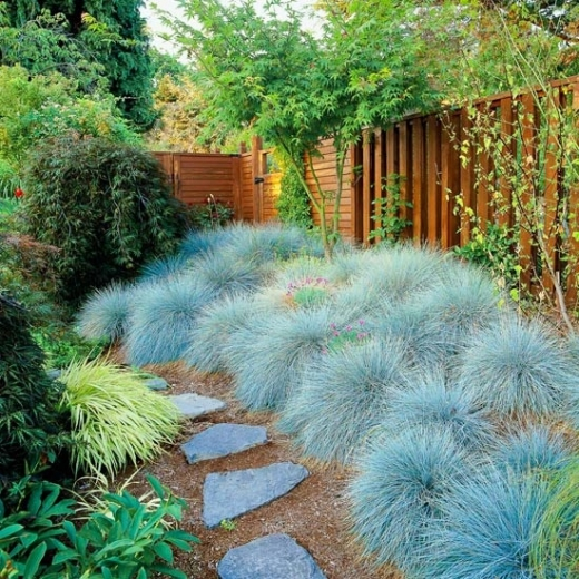Plava trava - stabljika plavkasto-siva